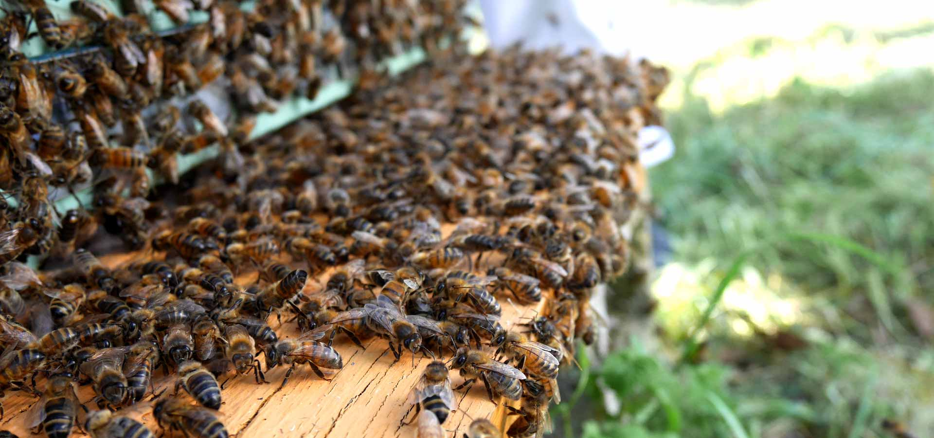 Visite du rucher communal à Montmorillon