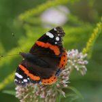 6e sortie nature à l'Ecomusée inventaire des papillons avec Patrick